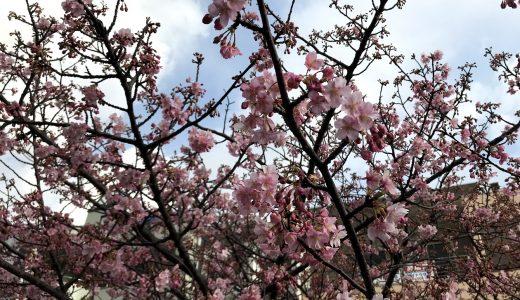 三浦海岸桜まつり2019年2月17日の河津桜開花状況