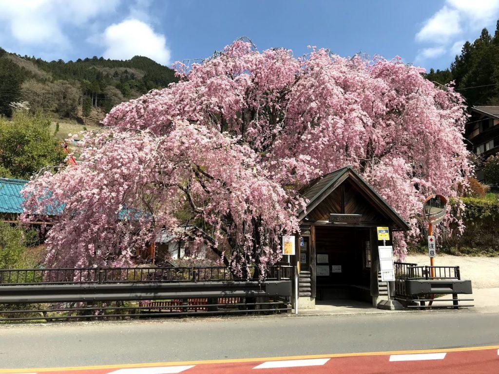 人里バス停のしだれ桜の画像